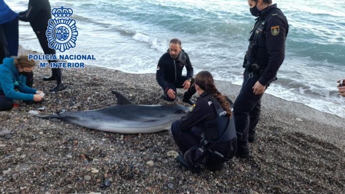 Agentes de la Policía Nacional rescatan un delfín varado en la playa de las Olas de Almería